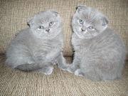 Шотландские плюшевые вислоухие и прямоухие  котята