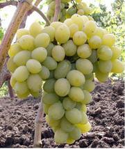 Виноград оптом Крым