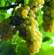 Продам виноград технических сортов:Шардоне,  Пино Блан