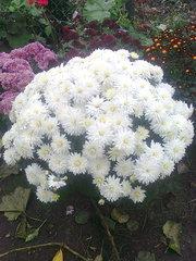 Продам георгины,  хризантемы