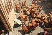 цыплята яичного направления
