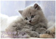 Продаются шотландские котята от родителей с хорошей родословной