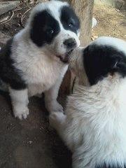Продам щенков алабая САО