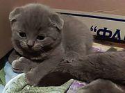 Шотландские вислоухие котята окрас - голубой