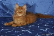 Котята мейн-куны из питомника