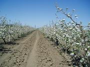 Плодоносящий яблоневый сад в Крыму. 4, 8 Га (Свидетельство,  документы готовы)
