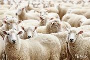 Предлагаем ягнят и овец,  породы
