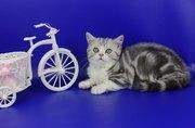 Продам очаровательного шотландского котенка