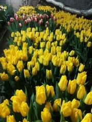 Срезы тюльпанов к 8 марта оптом