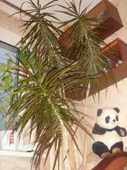 Предлагаю пальму веерную.
