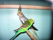 Продам попугаев карела,  волнистых